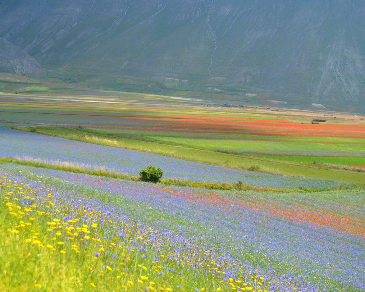 campo di lenticchie a castelluccio